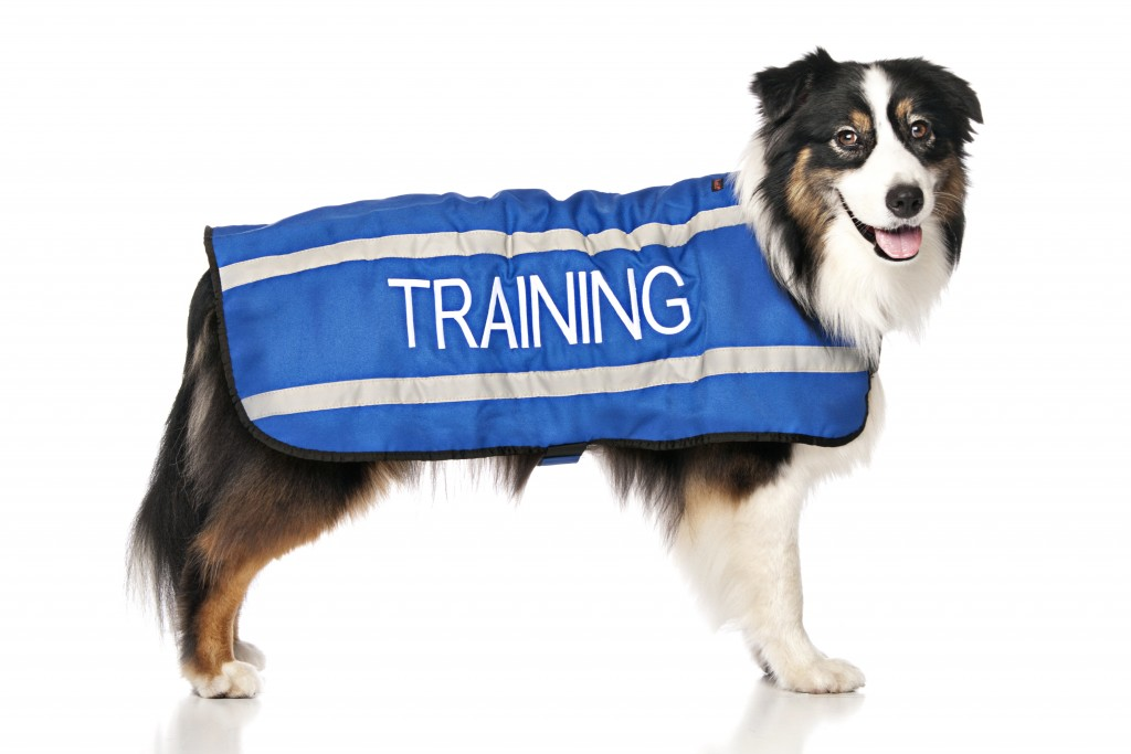 TRAINING DOG, Dog Coat. Dog awareness and Safety Coat, Blue colour coded.